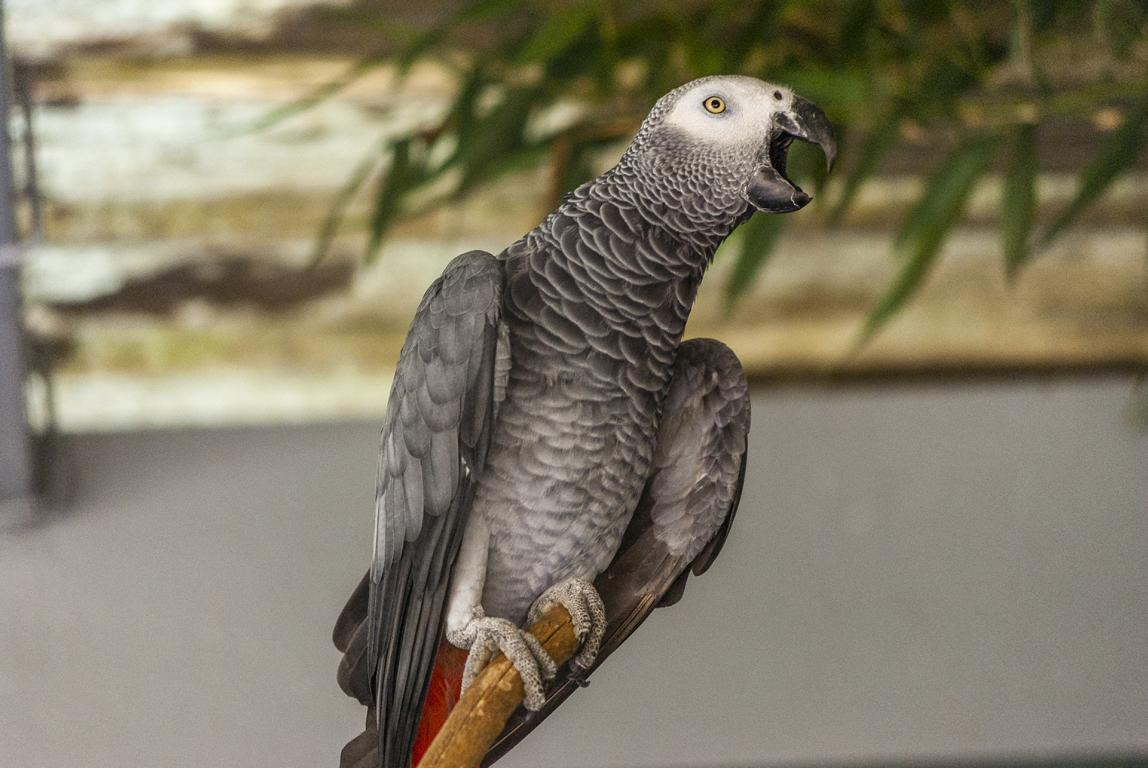 Reisetipps zu Gabun, hier ein grauer Papagei